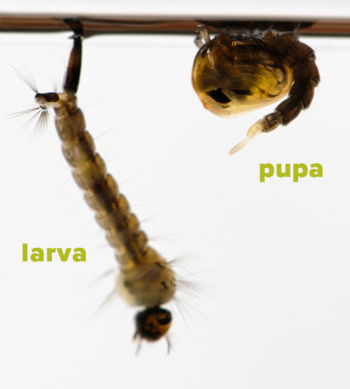 Larva and pupa