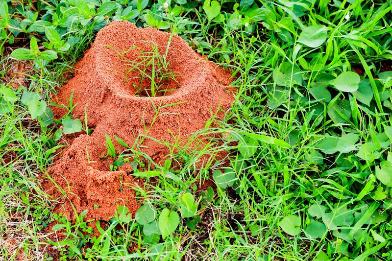Fire ant hill outside