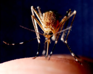 mosquitoes that bite and spread disease