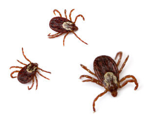 American dog tick carries Rocky mountain Spotted fever