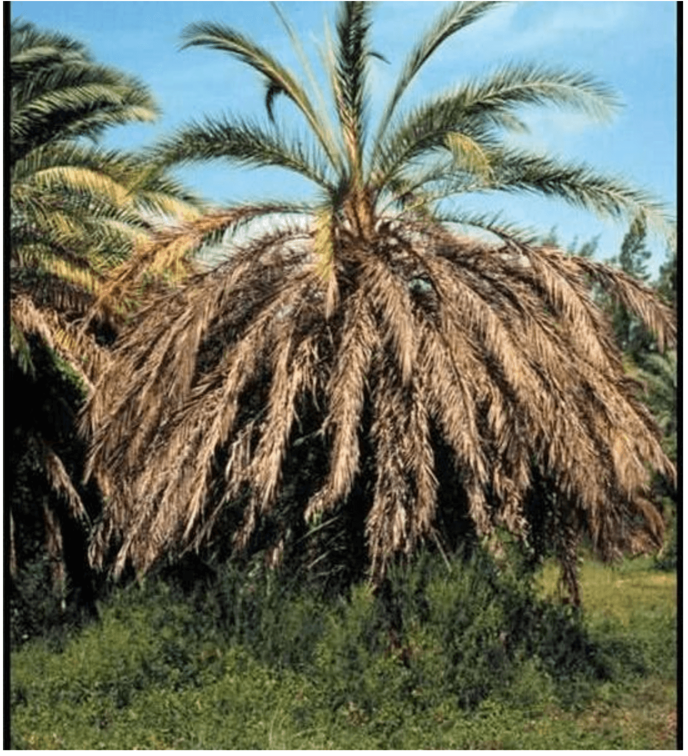 A infected palm tree