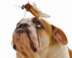 Mosquito on dog.