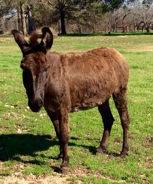 Donkey at Berry Springs Park