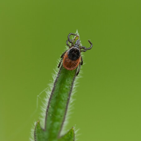 A photo of a deer tick