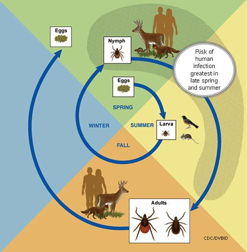 Life cycle of ticks and Lyme Disease